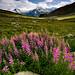 Swiss Alps: Late Bloom