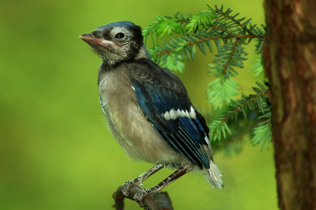 Baby Blue Jay | Flickr - Photo Sharing!