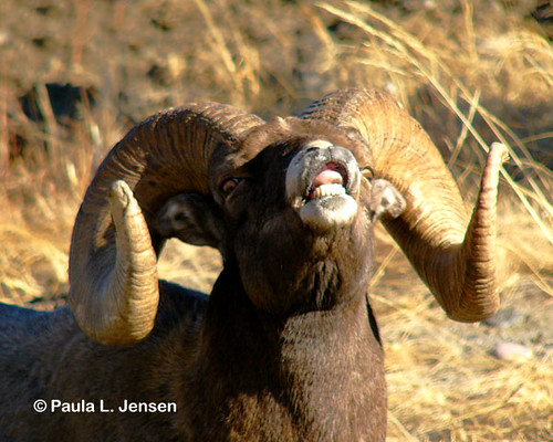 La14 Bighorn Sheep Ram Lip Curl Close Up Ram Is Part