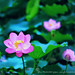 Lotus. Buddha's Flower. © Glenn E Waters. Japan. Over  2,200 visits to this photo.  Thank you.