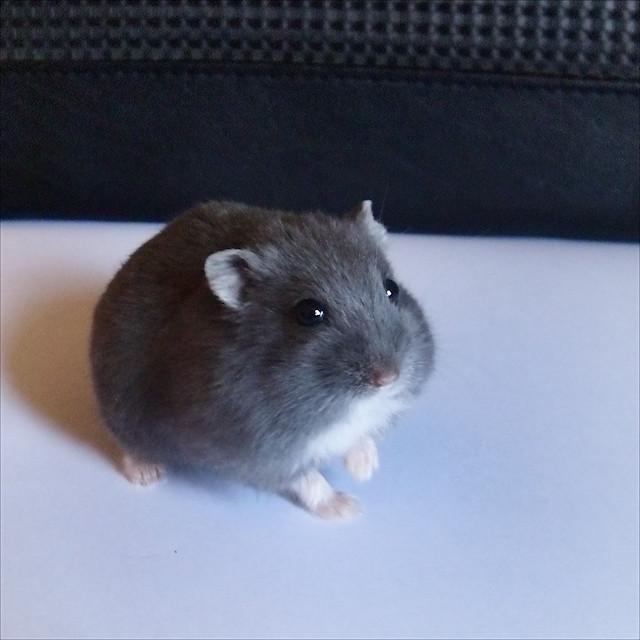Russian Blue Dwarf Hamster | Combination Black/Saphire, 4 ...  Russian Blue Dw...