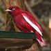 Pompadour Kotinga ♂ / Amazonien-Pompadourkotinga / Pompadour Cotinga (Xipholena punicea)