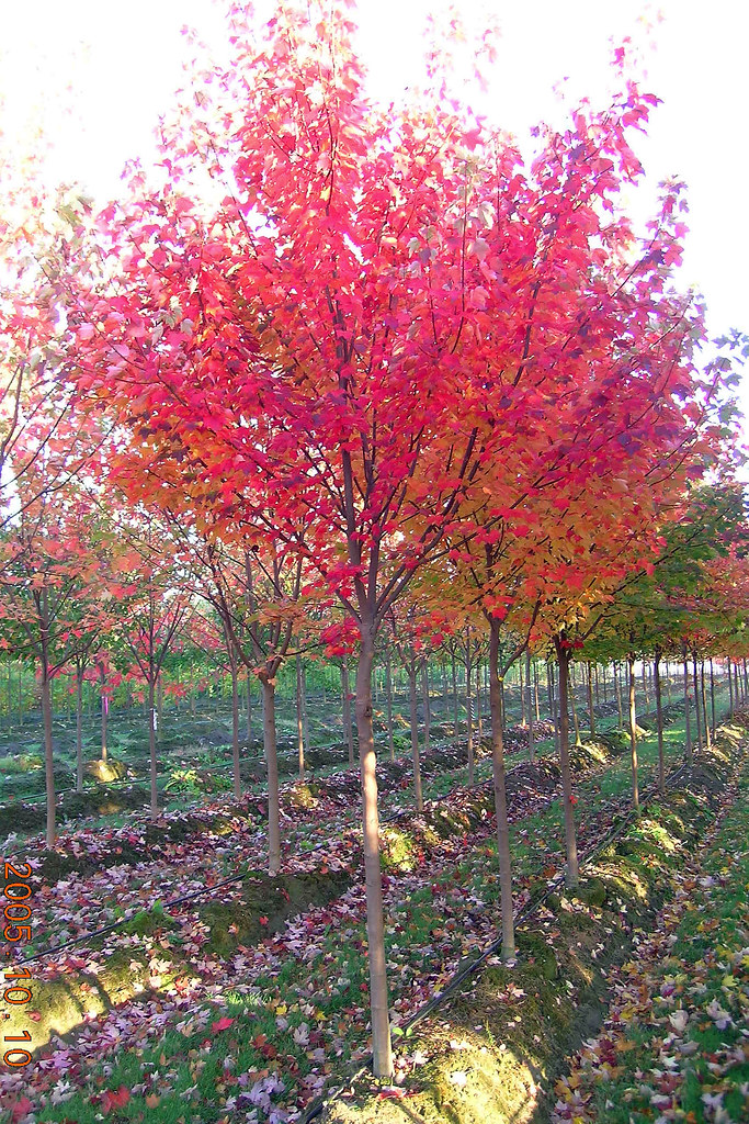 Brandywine Red Maple | The color on this tree is so ...