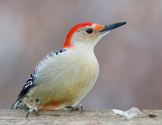Red-Bellied Woodpecker on a Railing | by Phil Armishaw