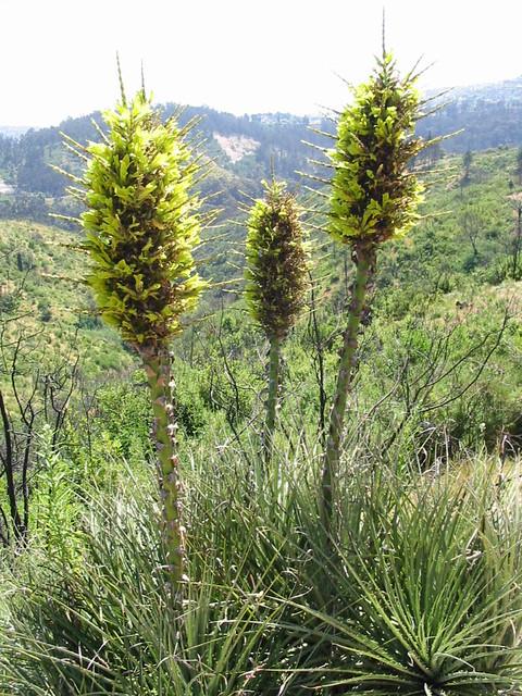 Bromeliaceae puya chilensis molina jard n bot nico for Jardin botanico vina