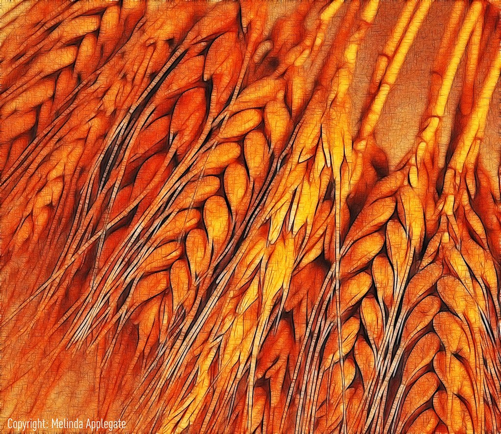 Wheat Please View Large On Black Dried Wheat Kernels