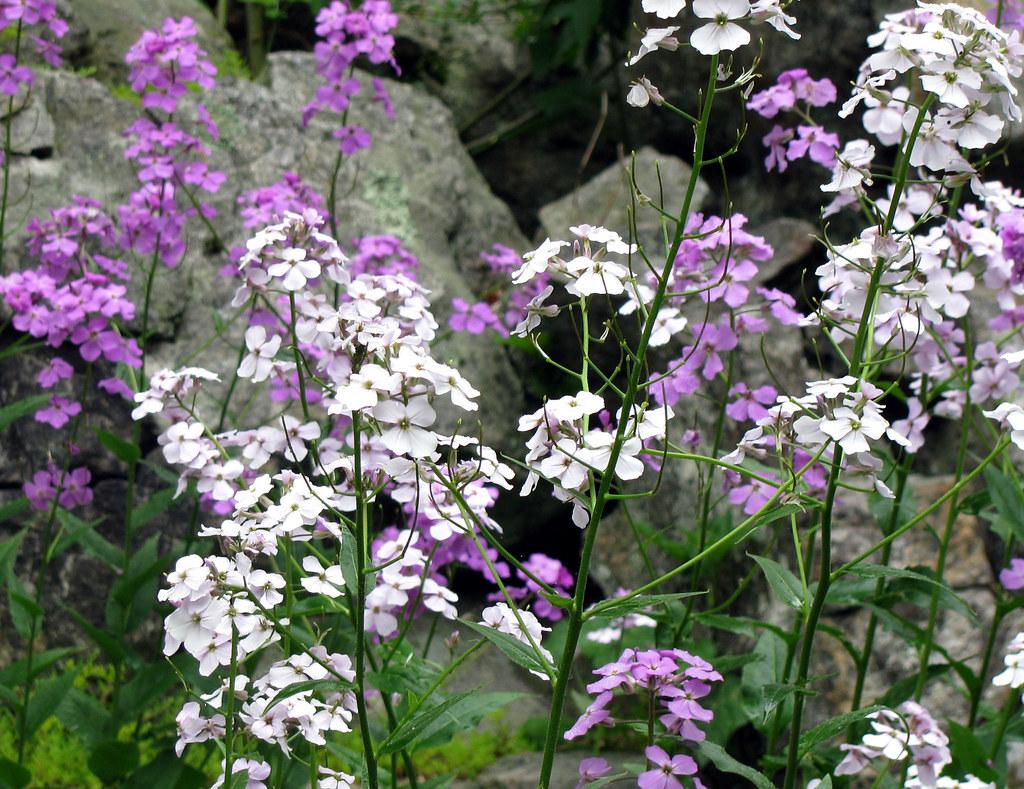 Purple & White Wildflowers 3   Flowers Around the House