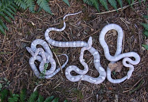 Lavender Corn Snake Corn snakes: lavender