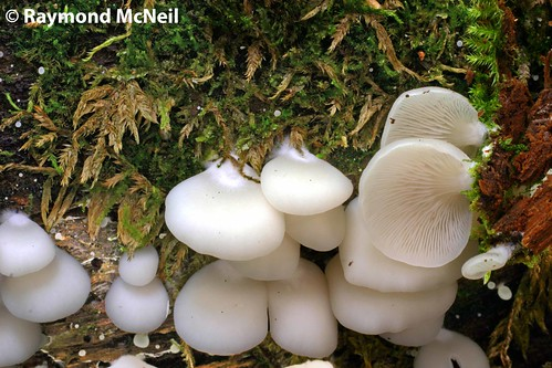 Crepidotus Applanatus Crepidotus Applanatus/