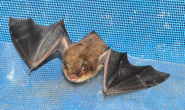 Little Brown Bat - Bat Facts and Information
