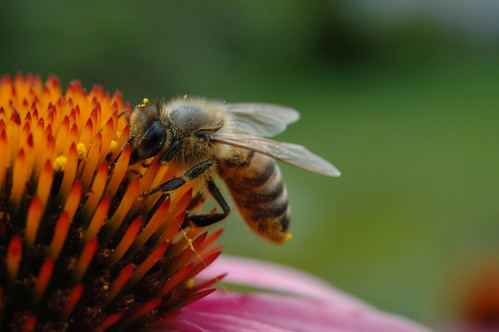 200907011 Honey Bee 024 | by cygnus921