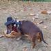 Wienerdog in a hat