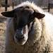 Big Chip Suffolk sheep - January 2006
