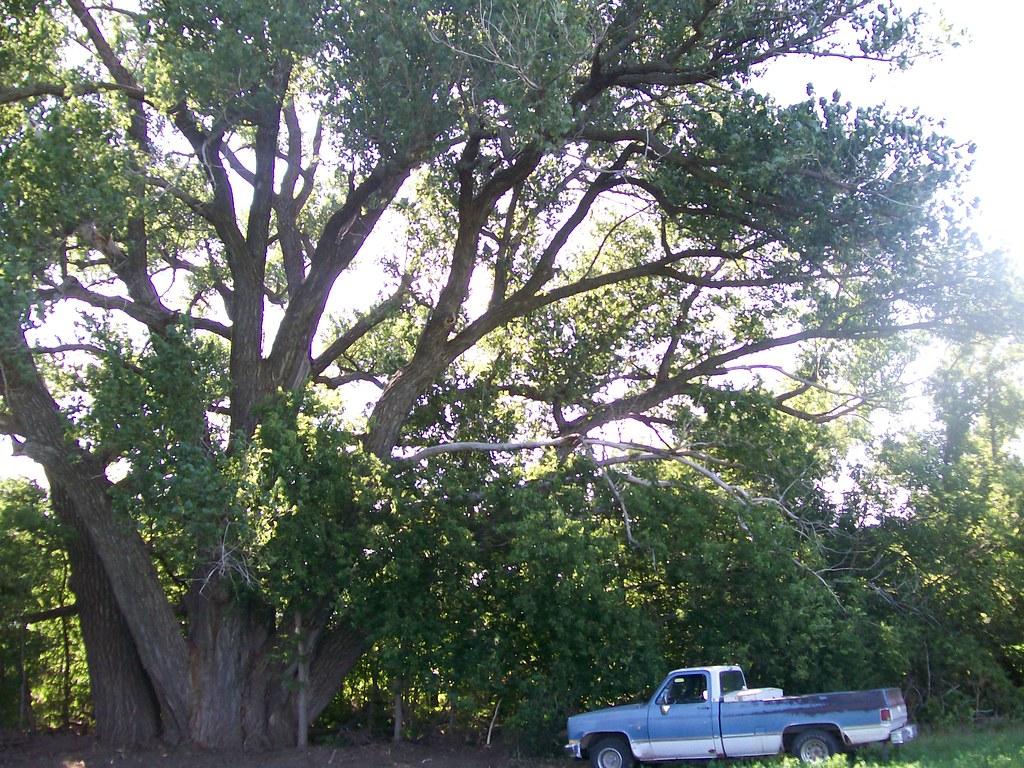Largest eastern Cottonwood Tree in Kansas | www