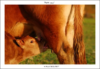 Lo Védélou / The little calf | by Michel Seguret thanks you all for + 6.900.000 view