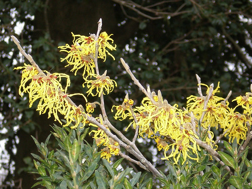 Witch Hazel | by Gardens through the Seasons