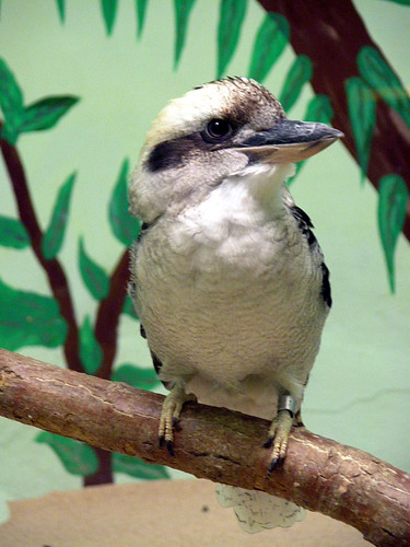 Kookaburra | by Potter Park Zoo