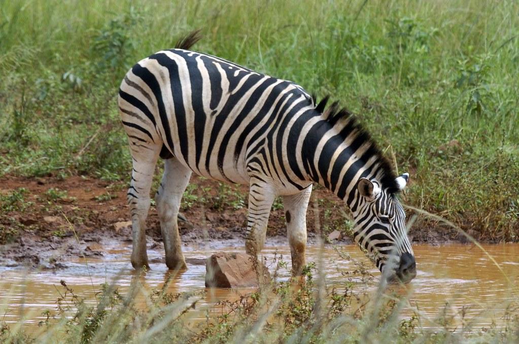 Drinking Water Zebra Mussels