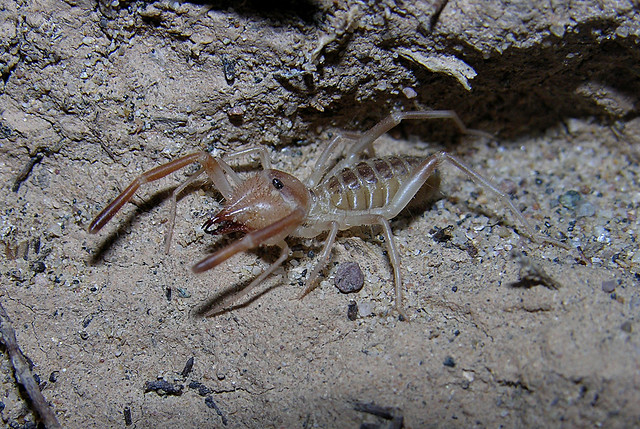 Camel spider 1 (Eremobatidae), New Mexico | Flickr - Photo Sharing!