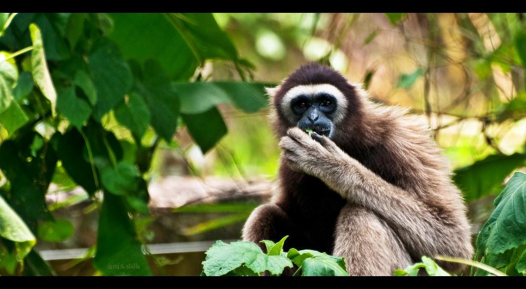Malaysian Lar Gibbon White Handed Gibbon Superfamily