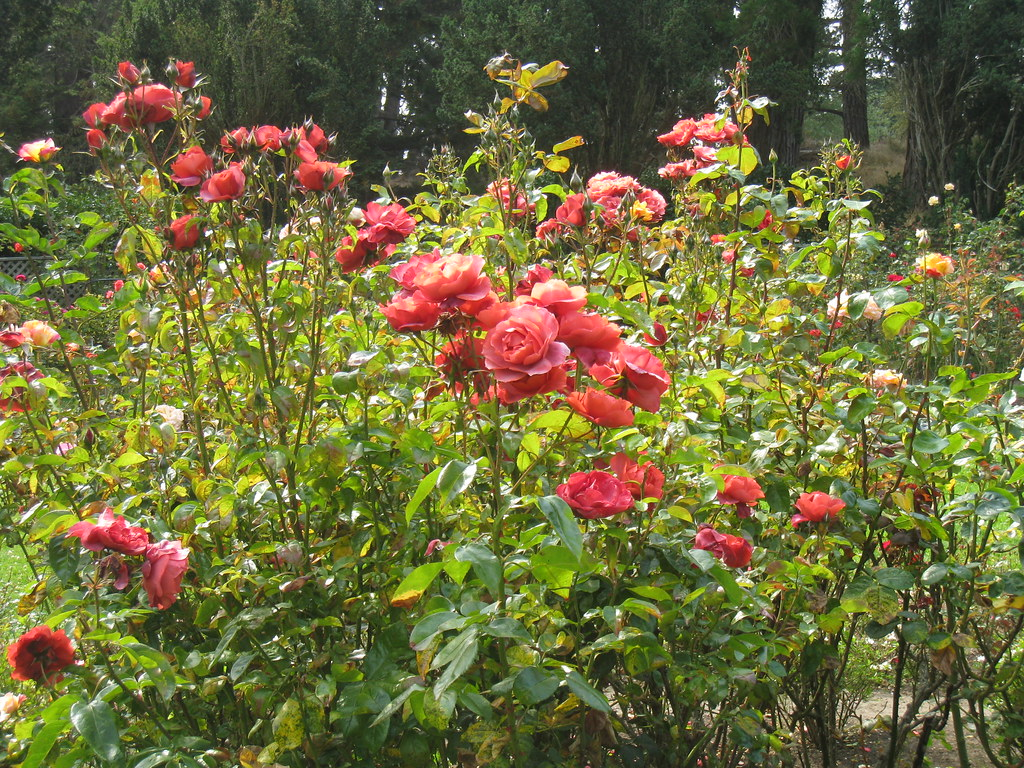 golden gate park rose garden tnporter flickr. Black Bedroom Furniture Sets. Home Design Ideas