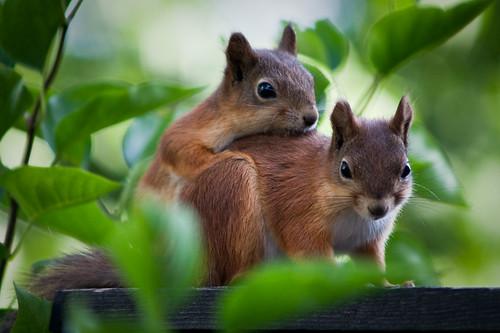 Cute squirrels in love - photo#4