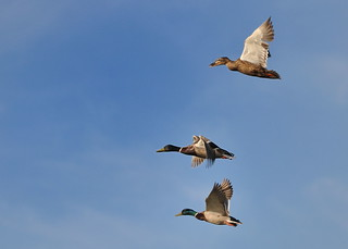 Ducks in flight over Palo Alto Baylands | by donjd2