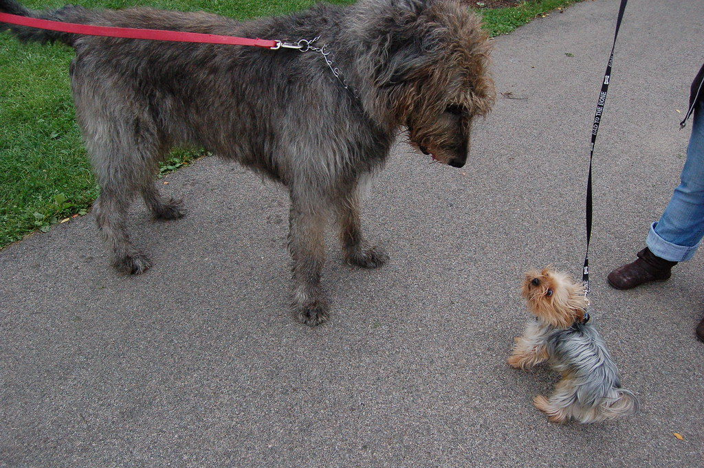 wolf terrier yorkie and irish wolf hound at csbarks a yorkshire 8612