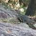 Water Monitor (Varanus salvator komaini)