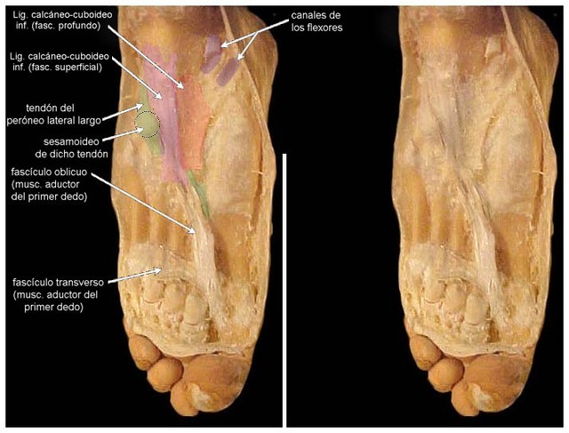 Músculo aductor (pie izquierdo)   Cátedra de Anatomía Normal \