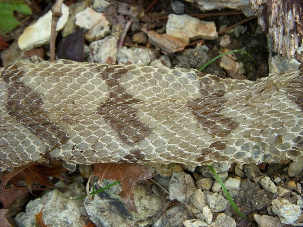 Timber Rattlesnake Shed Skin Crotalus Horridus Carter