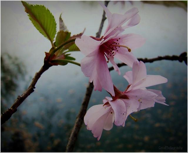 Tresnjin cvet | Svetlana Peric | Flickr