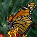 Farfalla a pois