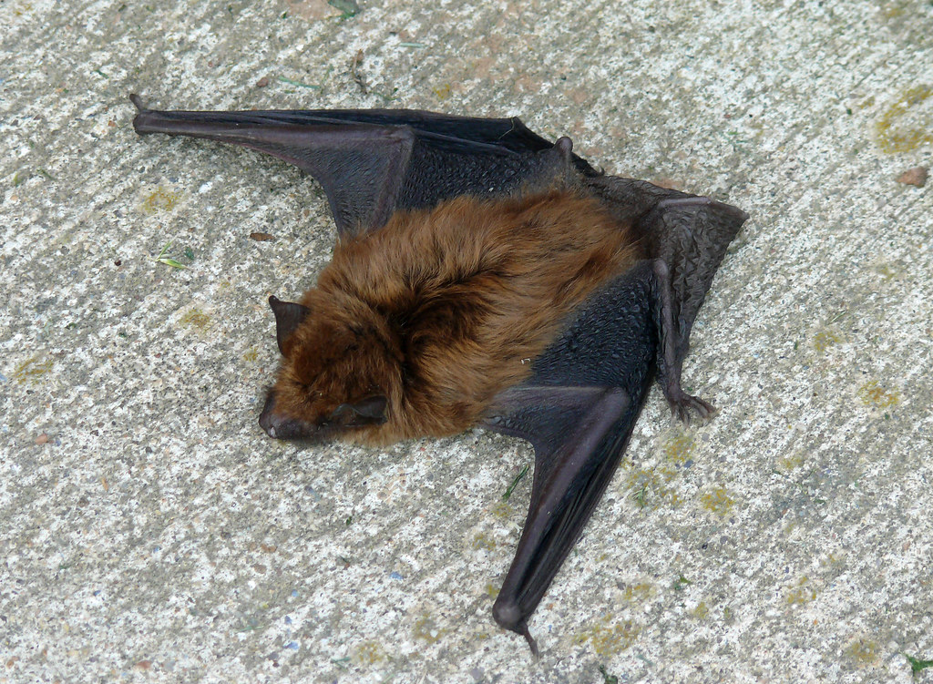 Big Brown Bat Eptesicus Fuscus Annandale Va I Found