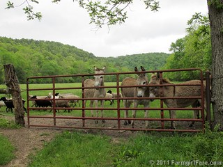 The Daily Donkey 97 - Sheep invade Donkeyland! | by Farmgirl Susan