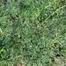 Canafrecha // Giant Fennel (Ferula communis)
