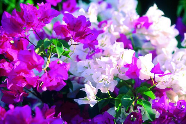 Bougainvillier En Fleur Sous Le Soleil De L Ile Maurice Flickr