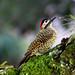 Pica-pau-verde-barrado, Green-barred woodpecker (Colaptes melanochloros)
