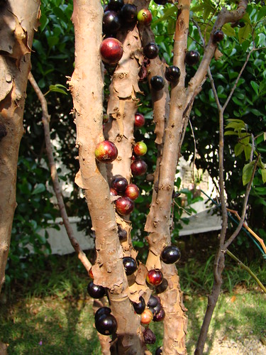 Jabuticaba (Myrciaria cauliflora) fruits, mother´s home, Sao paulo. Brazilian native | by mauroguanandi