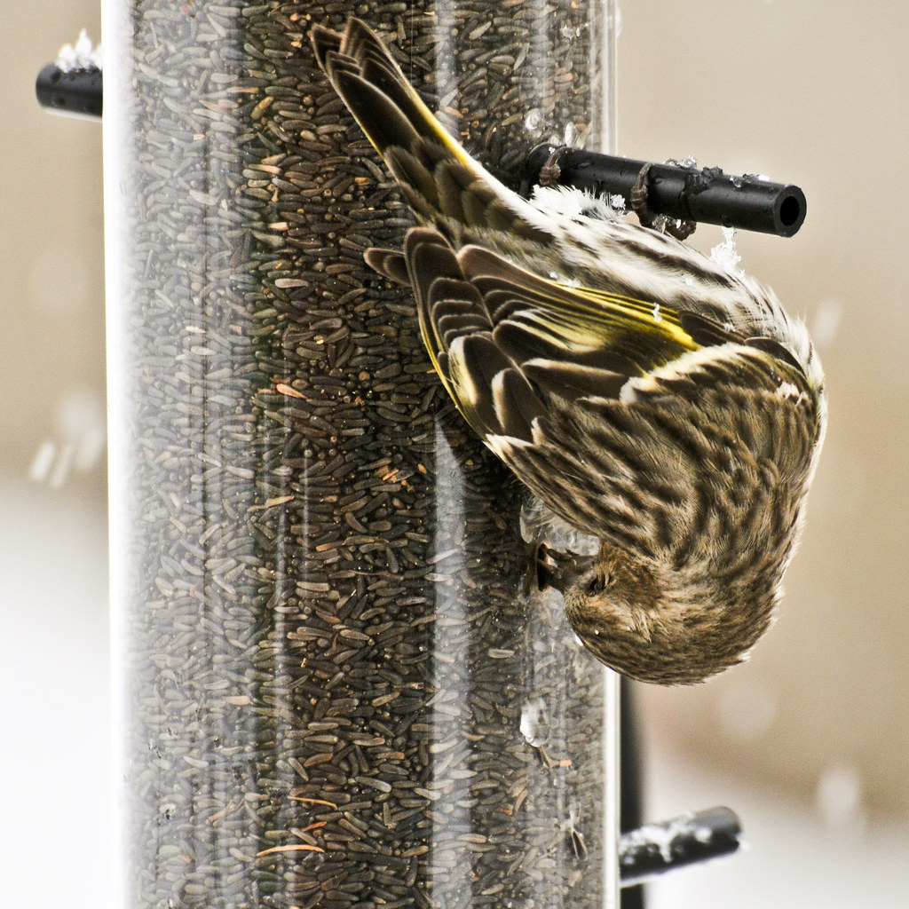 the great back yard bird count pine siskin photographed i