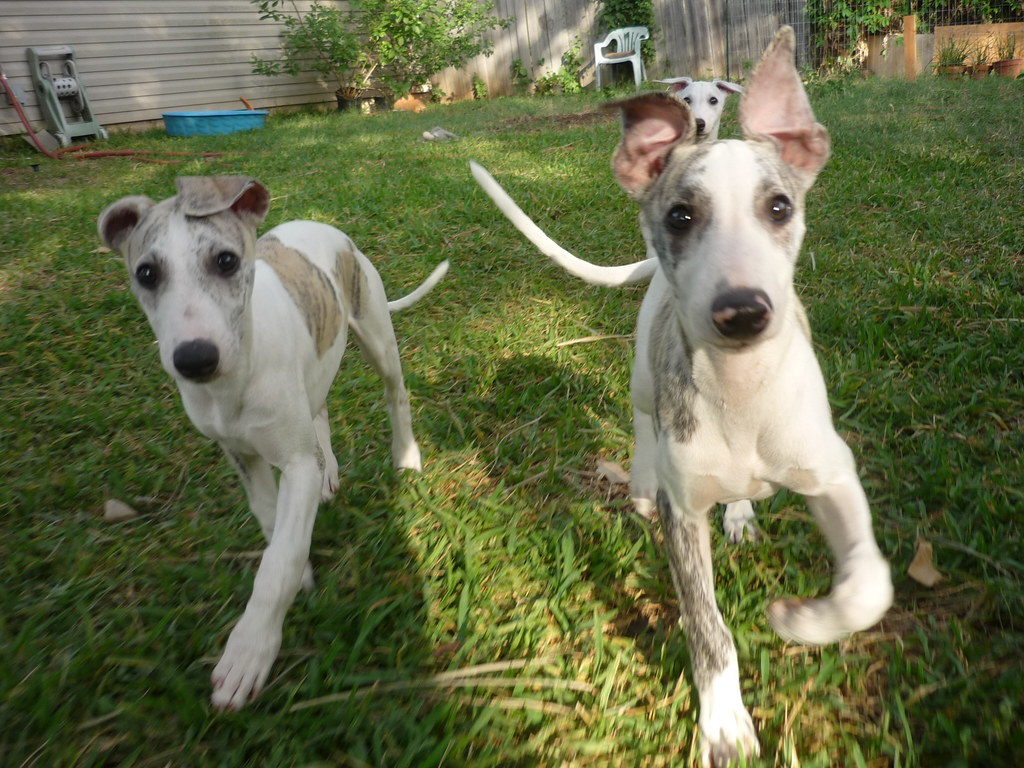 Whippet Puppies For Sale Near Me In Golden, British Columbia Canada