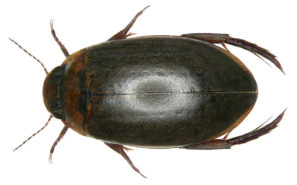 Rhantus suturellus (M`Leay, 1825) | Family: Dytiscidae ...