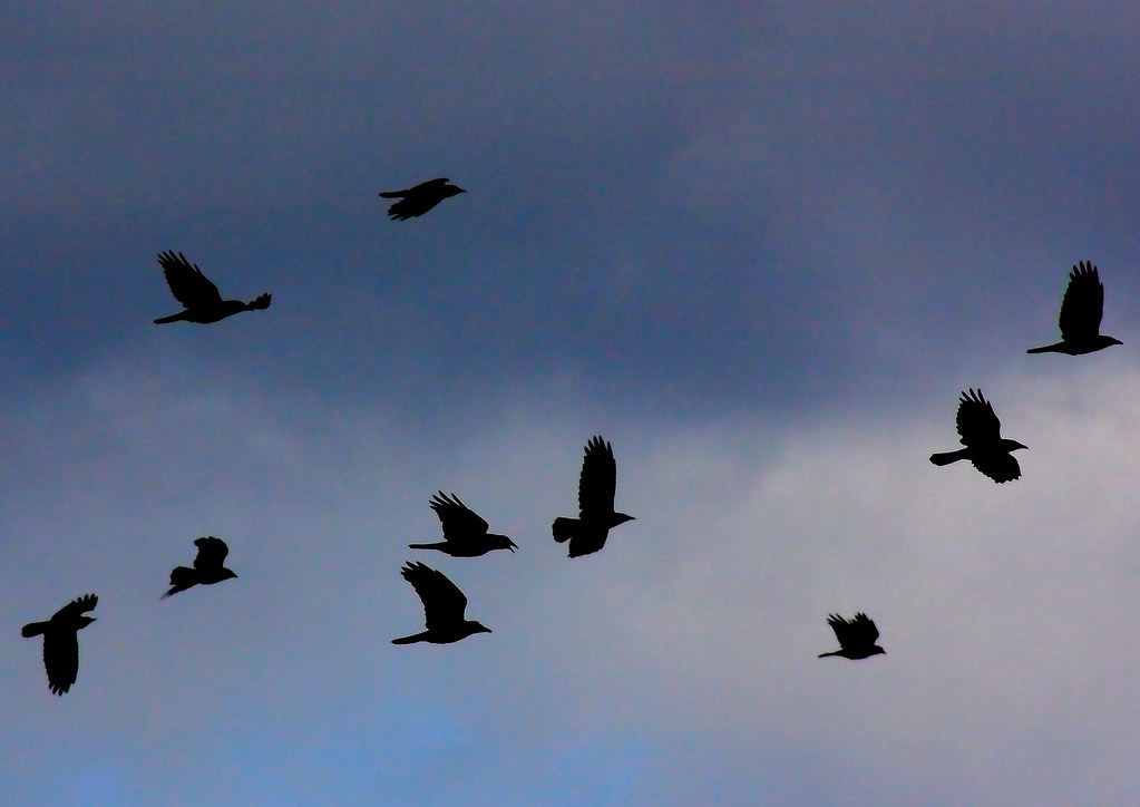 crows flying in groups