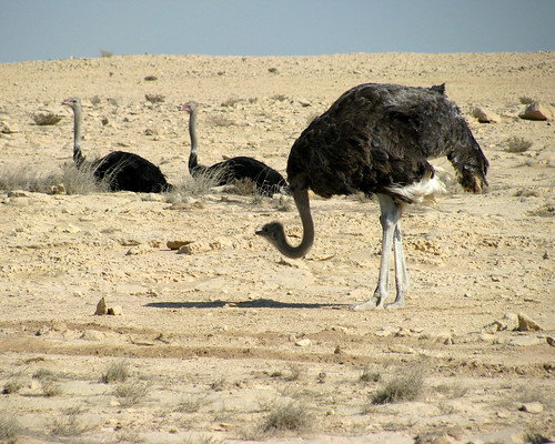 Ostrich striking a pose | by Pedronet