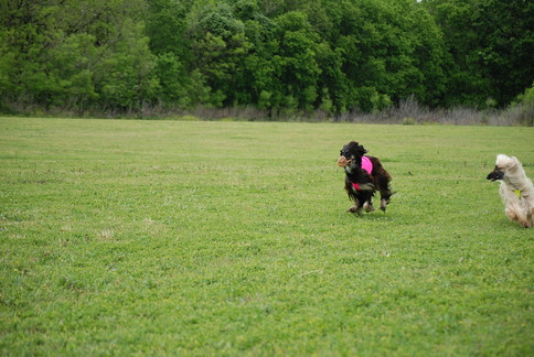 Afghan Hounds | Lure Coursing Event sponsored by the Alamo ... Afghan Hound Lure Coursing