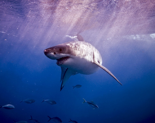 Carcharodon carcharias | by andythirlwell