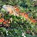 Orange Iguana 2-20090107