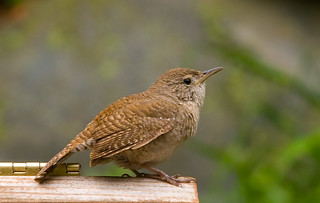 Still More House Wren | by soderlis