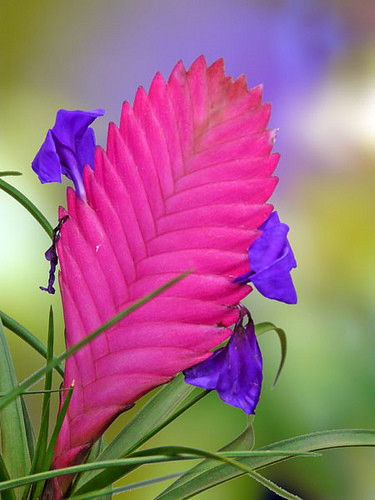 Tillandsia Cyanea Linden Ex K Koch: Tillandsia Cyanea Bromeliad Copyright