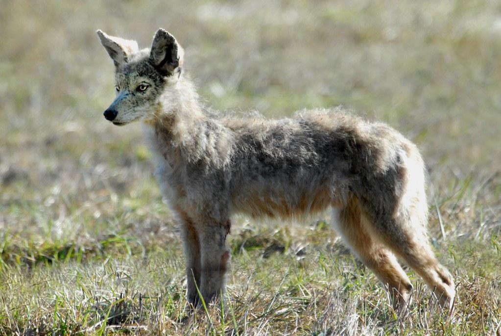 coyote  canis latrans   juvenile ddz 0067